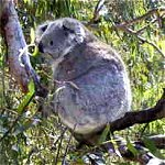 Koala Conservation Centre - Attractions Melbourne