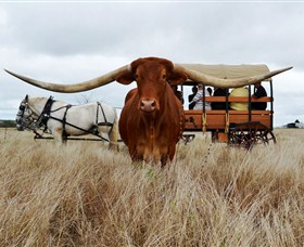 Texas Longhorn Wagon Tours and Safaris - Attractions Melbourne