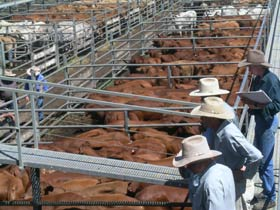 Dalrymple Sales Yards - Cattle Sales - Attractions Melbourne