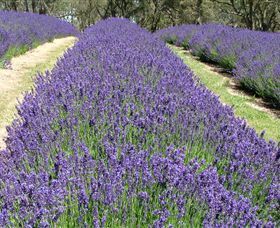 Yuulong Lavender Estate - Attractions Melbourne
