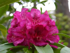 Campbell Rhododendron Gardens - Attractions Melbourne