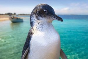 Full-Day Penguin Island  Fremantle Town - Attractions Melbourne
