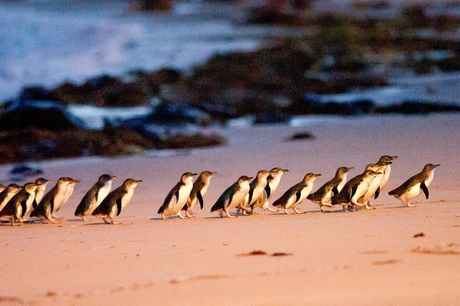 Phillip Island Penguin Parade Entry and Express Shuttle from Melbourne - Attractions Melbourne